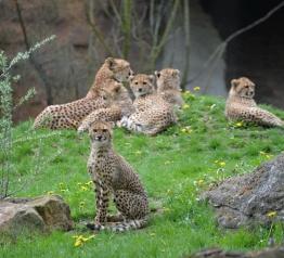 Pięcioraczki geparda są hitem ZOO w Dvur Kralove