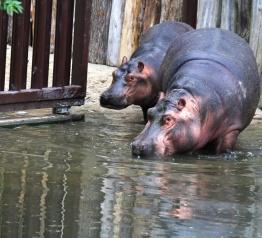 Hipopotamy wróciły do ZOO w Dvůr Králové
