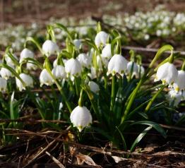 Kobierce śnieżyc – w Karkonosze przyszła wiosna