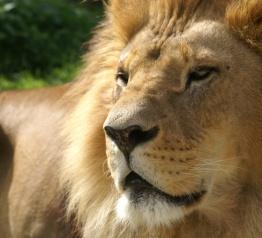 Nowe lwice w lwim safari